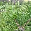 Ветви, хвоя, шишки Сибирского кедра (Сосны сибирской кедровой)