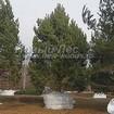 Крупномерные деревья Сосны обыкновенной