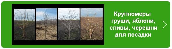 Плодовые крупномеры (яблоня, черешня, слива, груша) - в наличии для посадки