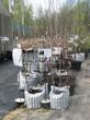 Саженцы черешни весной в питомнике (деревья в контейнерах)