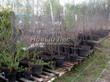 Саженцы вишни в контейнерах (различные сорта) - плодовые деревья весной в питомнике Сады Ясногорья