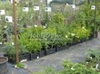 Саженцы ели, сосны, можжевельника, пихты, туи в контейнерах (питомник весной)