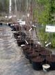 Питомник весной: саженцы вишни различных сортов в контейнерах