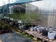 Саженцы в контейнерах - крыжовник, смородина, малина (плодовые кусты весной в питомнике)