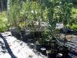 Контейнерные саженцы вишни (лето в питомнике Сады Ясногорья, Тульская область, Ясногорский район)