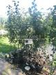 Яблоня Лобо - саженцы в контейнерах - лето, питомник Сады Ясногорья (Тульская область, Ясногорский район)