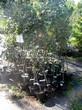Плодовые саженцы в контейнерах - яблони Орлик и Беркутовское летом в питомнике Сады Ясногорья (Тульская область, Ясногорский район)