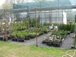 Площадка с образцами декоративных контейнерных растений для продажи летом в питомнике Сады Ясногорья (Тульская область, Ясногорский район)