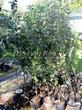 Саженцы плодовой яблони в контейнерах (возраст 1 год, различные сорта) - лето, питомник Сады Ясногорья (Тульская область, Ясногорский район)