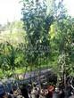 Сортовые плодовые яблони - контейнерные саженцы летом в питомнике Сады Ясногорья (Тульская область, Ясногорский район)