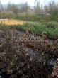 Саженцы лиственных и хвойных кустарников на распродаже осенью в питомнике Сады Ясногорья (Тульская область, Ясногорский район)