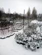 Хвойные и лиственные деревья и кустарники под снегом (саженцы в питомнике)