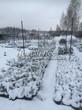 Саженцы хвойных растений (ель, можжевельник, туя, пихта) под снегом на выставочной площадке питомника