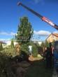 Посадка крупномеров сосны, туи, можжевельника и других деревьев из питомника (осень)