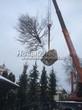 Посадка крупномеров лиственных и хвойных деревьев из питомников (зима)