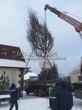 Выгрузка крупномера Дуба обыкновенного из грузовика для посадки на участке (зима, декабрь)