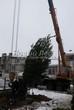 Посадка крупомерных деревьев Сосны обыкновенной из питомника на участке у коттеджа на этапе строительства (зима, декабрь)