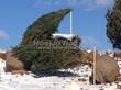 Посадка крупномеров Сосны обыкновенной и других деревьев из питомника - первый этап озеленения территории (зимняя посадка)