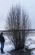 Крупномер рябины для посадки из питомника (кустовая форма, зима, декабрь)