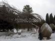 Крупномеры Клена остролистного, подготовленные в питомнике к зимней высадке - февраль, зима, посадка