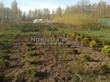 Посадка саженцев в грунт и в контейнеры - Пикировка декоративных растений в питомнике летом - 105