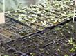 Посадка саженцев в грунт и в контейнеры - Пикировка декоративных растений в питомнике летом - 107