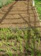 Посадка саженцев в грунт и в контейнеры - Пикировка декоративных растений в питомнике летом - 109