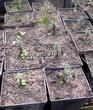 Посадка саженцев в грунт и в контейнеры - Пикировка декоративных растений в питомнике летом - 113