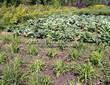 Посадка саженцев в грунт и в контейнеры - Пикировка декоративных растений в питомнике летом - 114