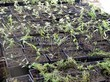 Посадка саженцев в грунт и в контейнеры - Пикировка декоративных растений в питомнике летом - 116