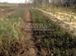 Посадка саженцев в грунт и в контейнеры - Пикировка декоративных растений в питомнике летом - 117