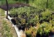Посадка саженцев в грунт и в контейнеры - Пикировка декоративных растений в питомнике летом - 118