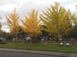 Крупномерные деревья Гинкго