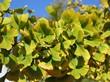 Листья дерева Гинкго двулопастный