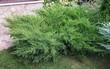 Хвойное растение Можжевельник средний Минт Джулеп