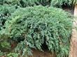 Посадочный материал из питомника - Можжевельник чешуйчатый Блю Карпет