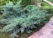 Хвойное растение Можжевельник виргинский Хетц