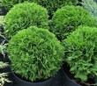 Хвойное растение Туя западная Даника в питомнике