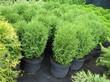 Саженцы хвойного растения Туя западная Хозери в питомнике