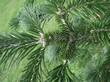 Хвоя растения Пихта сибирская