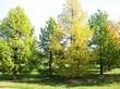 Крупномерные деревья Лиственница европейская (Лиственница опадающая) осенью