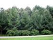 Деревья-крупномеры Лиственница европейская (Лиственница опадающая) высаженные в массив