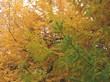 Осенняя окраска хвои дерева Лиственница европейская (Лиственница опадающая)