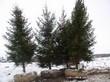 Крупномерные деревья Ель обыкновенная (Ель европейская), подготовленные к посадке
