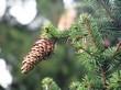 Шишка и хвоя дерева Ель обыкновенная (Ель европейская)