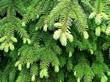 Старая и молодая хвоя растения Ель обыкновенная (Ель европейская)