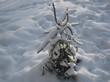 Дерево Ель обыкновенная (Ель европейская) в питомнике под снегом зимой