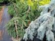 Саженцы деревьев Ель обыкновенная (Ель европейская) Инверса в питомнике