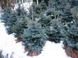 Деревья Ели колючей в питомнике зимой