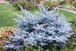 Дерево Ель колючая (Ель голубая) Глаука Глобоза в декоративной композиции